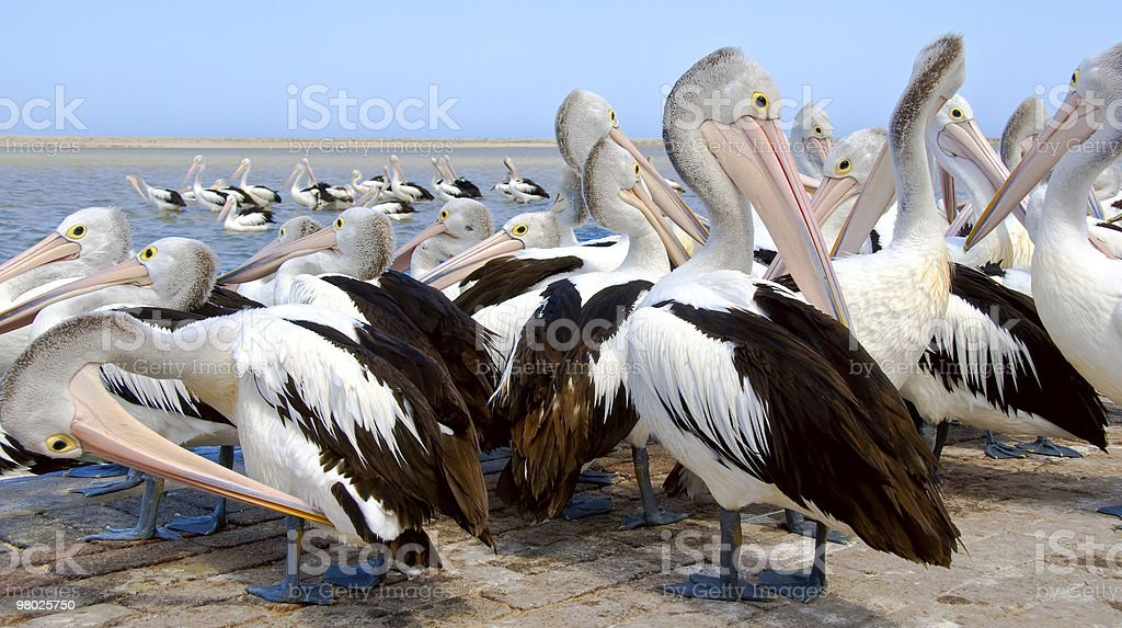 Pelicans preening royalty-free stock photo