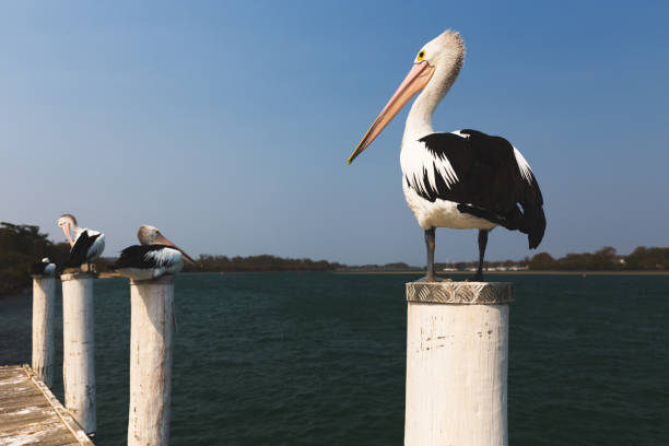 Pelicans resting on jetty pylons by river in Australia stock photo