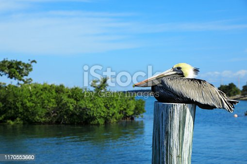 Pelicans Resting on Wood Pilings in Water over sunny blue sky in Key West, Florida