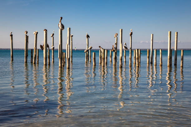 Pelicans Resting on Wood Pilings in Water stock photo