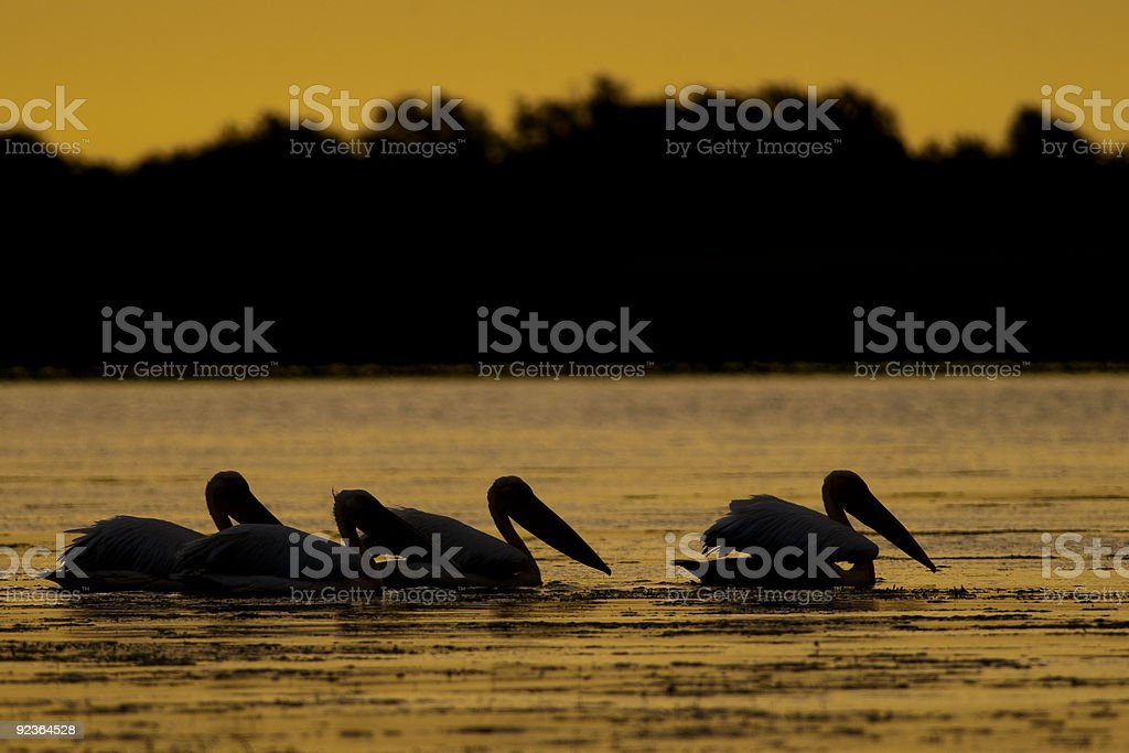 Pelicans silhouettes at sunrise royalty-free stock photo