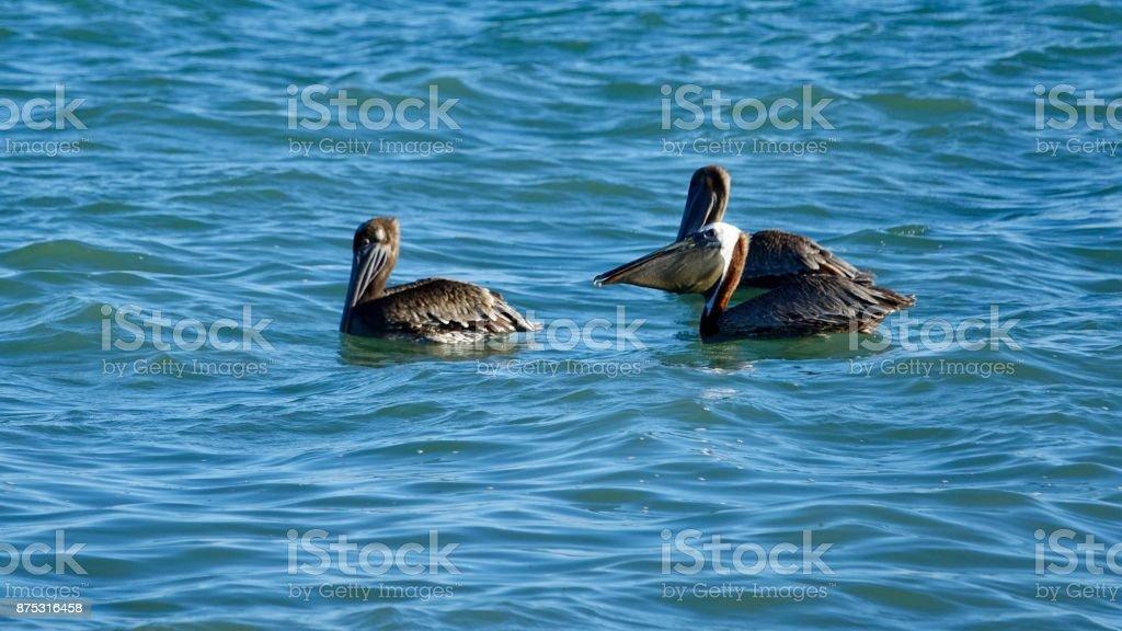 Pelicans, swimming in the sea stock photo
