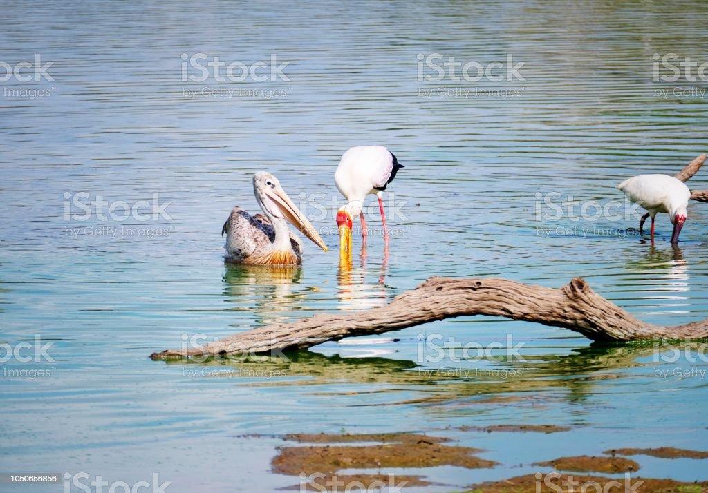 Pelican, yellow-billed stork et spatule d'Afrique recherche de nourriture dans le lac - Photo