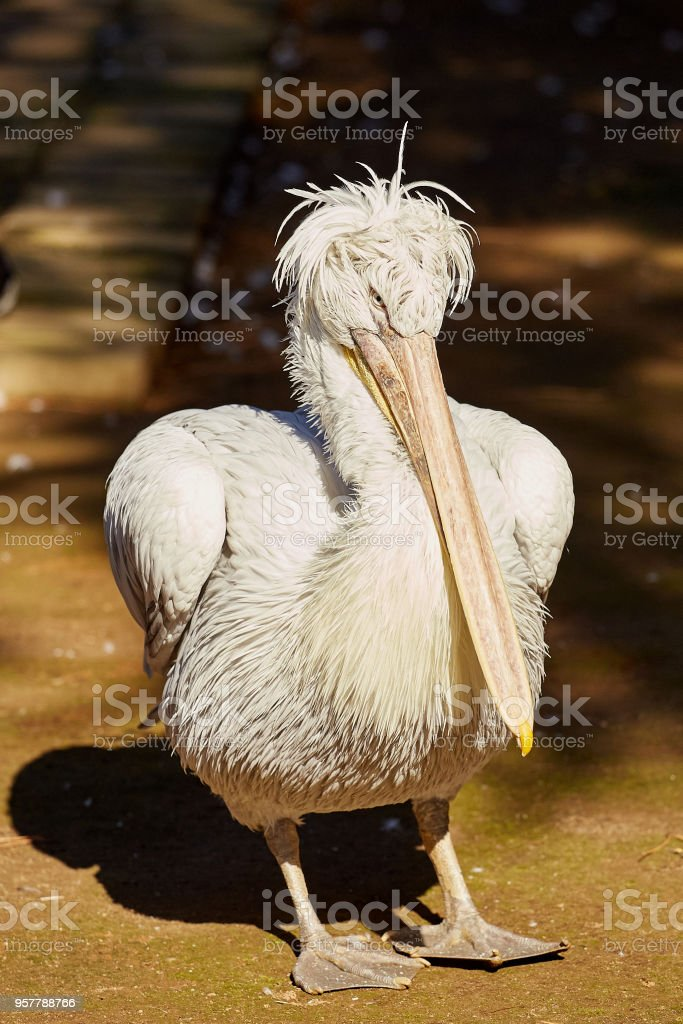 Pelikan im Zoo stock photo