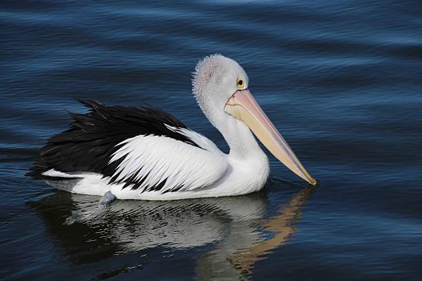 Pelikan in Victoria, Australien stock photo
