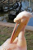 Pelikan Porträt