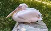Pelikan Portrait