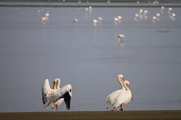 Pelikans at Walvisbay stock photo