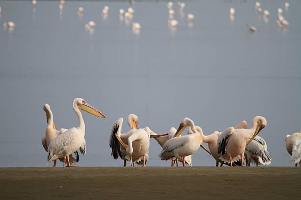 Pelikans gathering at Walvisbay stock photo