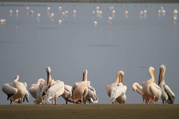 Pelikans grooming stock photo