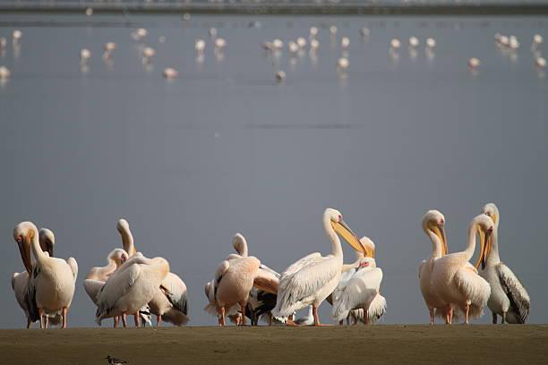 Pelikans in Walvisbay stock photo