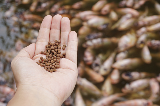 Pellets feed the fish on hand.