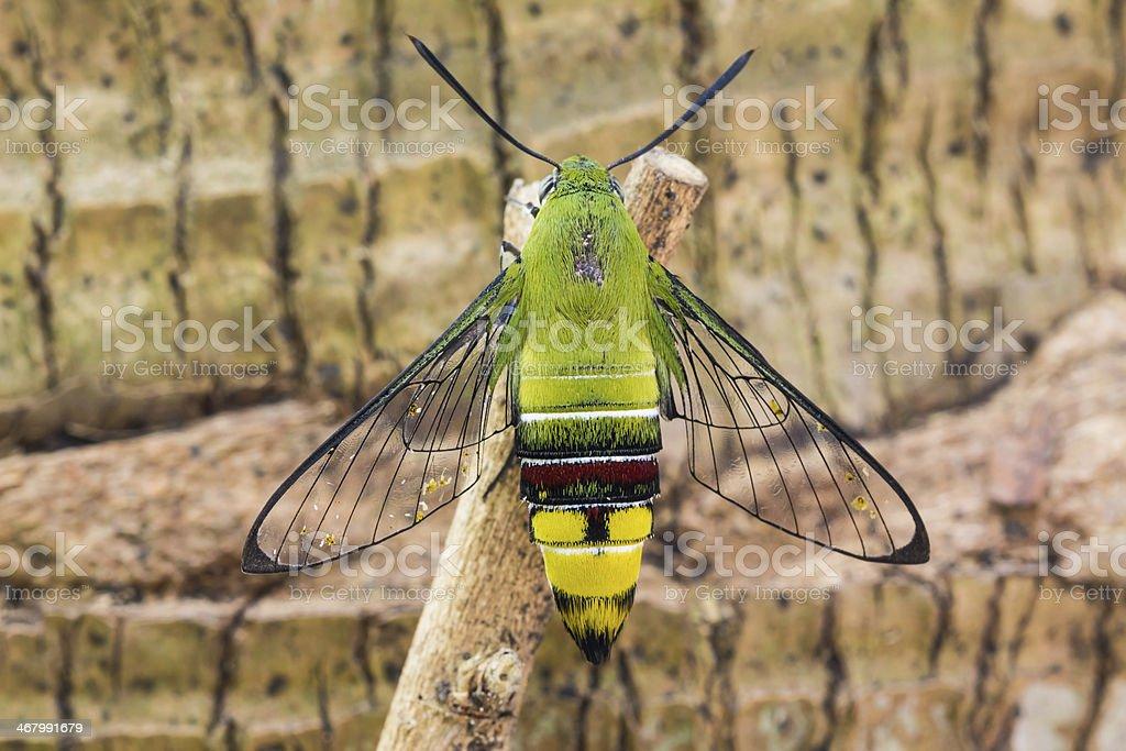 Pellucid hawk moth stock photo