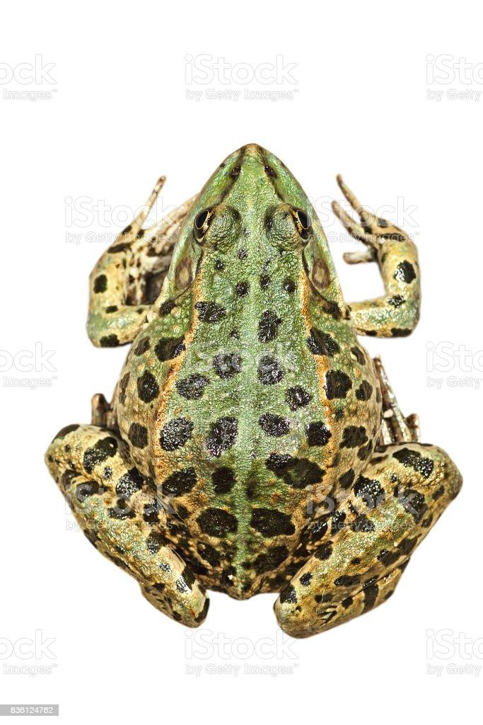 Pelophylax ridibundus, the common marsh frog stock photo