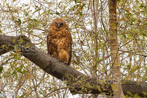 Pels fishing owl okavango delta botswana picture id513635379?b=1&k=6&m=513635379&s=612x612&h=1xy6s9brgddhumo8dwr7ungst418xqqz8 nxpn5nuyq=