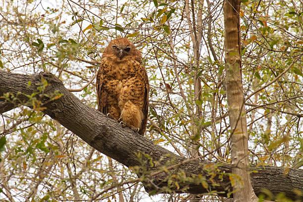 Pel's fishing owl, Okavango Delta, Botswana stock photo