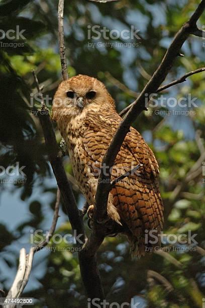 Pels fishing owl picture id474492800?b=1&k=6&m=474492800&s=612x612&h=avn0xnldfymtx9vuufd0wrmujdvlccazp7ohdtohoci=
