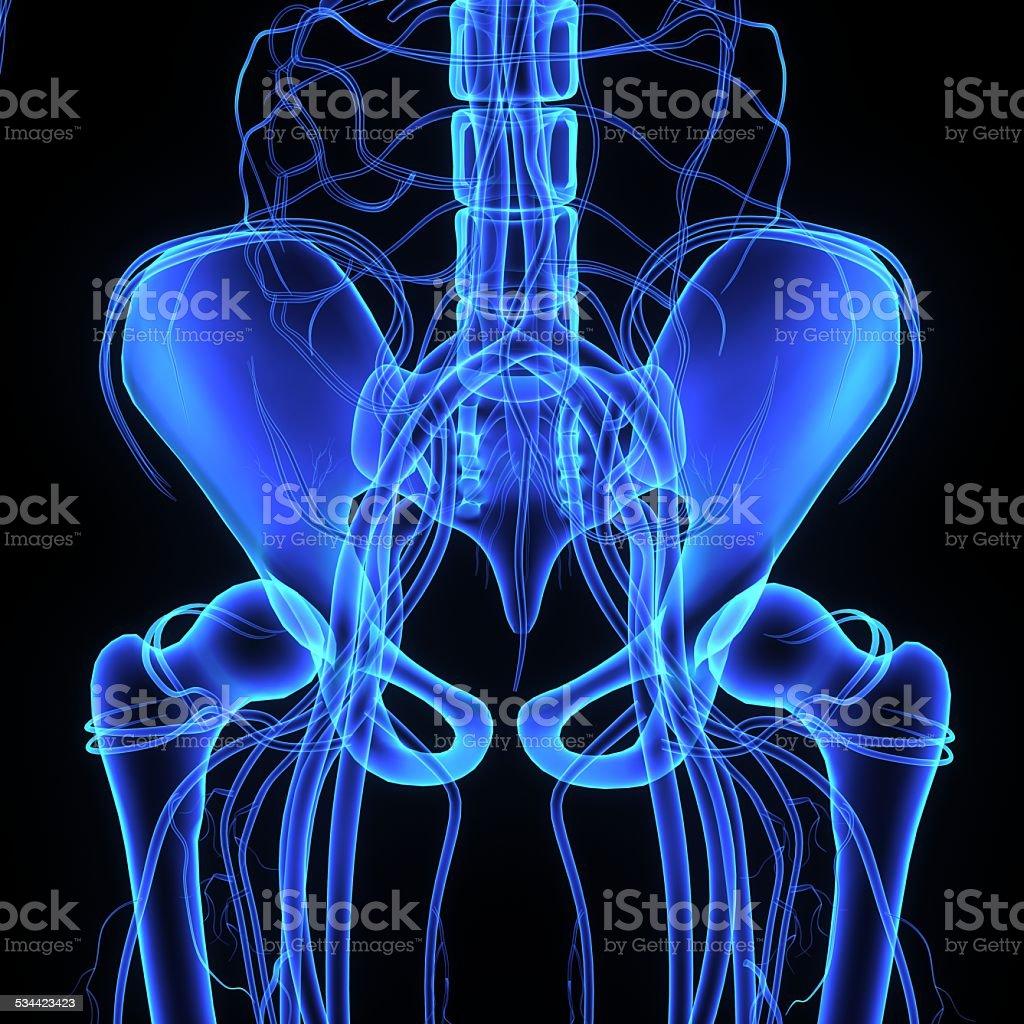 Pelvic hip stock photo