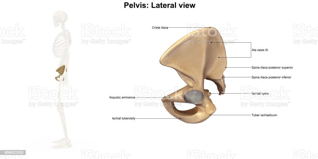 Pelvis Lateral View Stock Photo & More Pictures of Acetabulum | iStock
