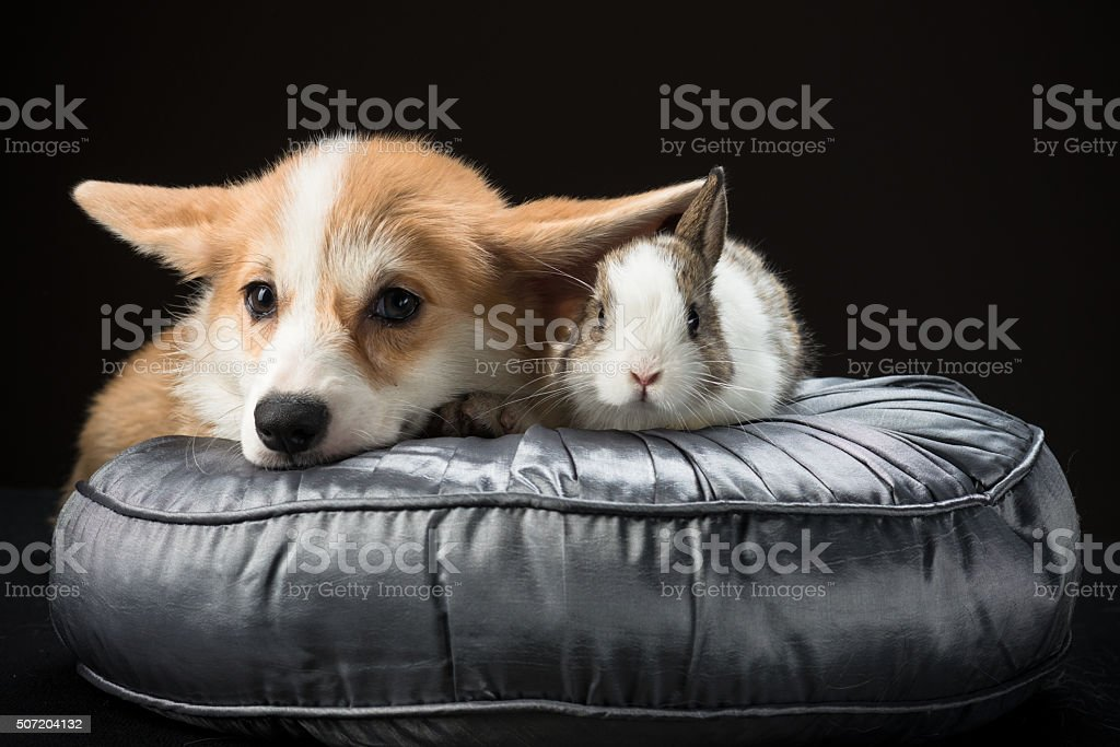 Pembroke puppy and bunny rabbit laying on a silky cushion Welsh corgi pembroke puppy and a bunny rabbit laying on a silky cushion together Animal Stock Photo