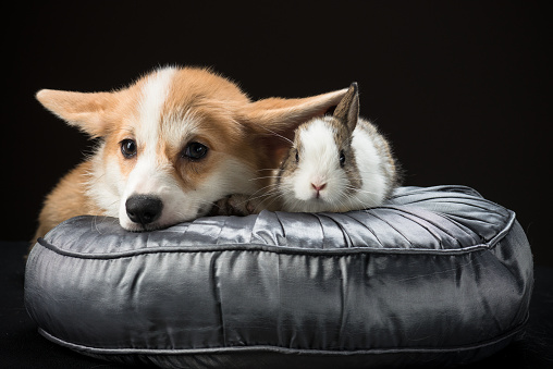 Pembroke Puppy And Bunny Rabbit Laying On A Silky Cushion Stock Photo - Download Image Now