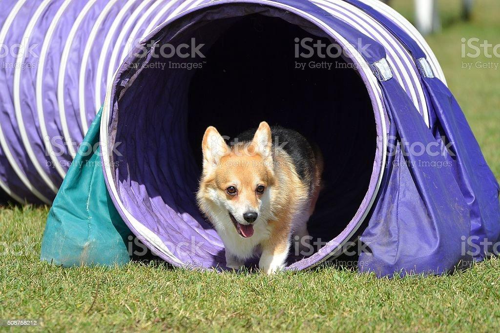 Pembroke Welch Corgi en un perro agilidad estudio - foto de stock