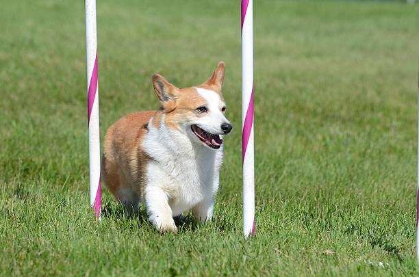welch corgi pembroke in einem hund agilität test - kurze haare flechten stock-fotos und bilder
