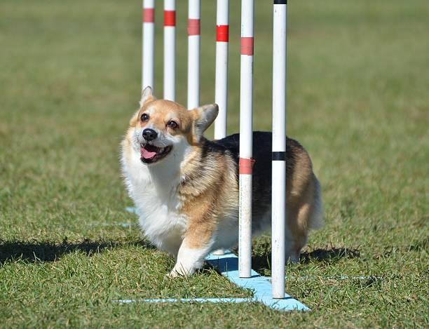 walisisch corgi pembroke im hund agilität test - kurze haare flechten stock-fotos und bilder