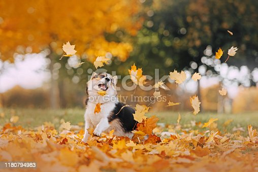 Tricolor Pembroke Welsh Corgi playing in the fall leaves