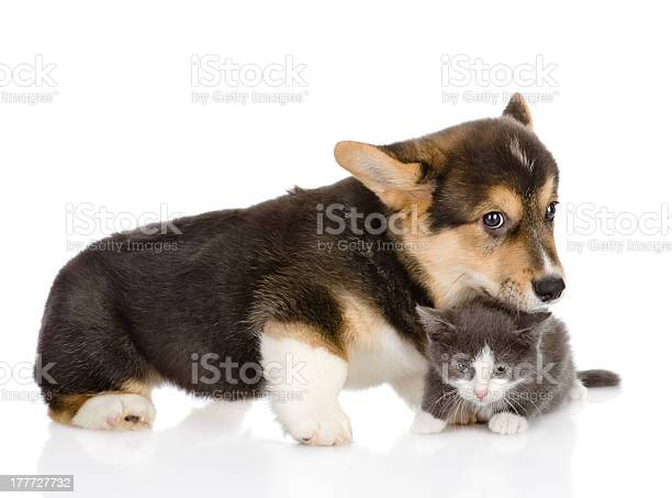 Pembroke welsh corgi puppy and cat picture id177727732?b=1&k=6&m=177727732&s=612x612&h=tkfukrotpbrf61entm7akdhyuo325yby snum9agwtw=