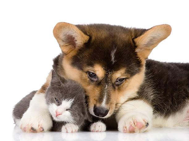 Pembroke welsh corgi puppy and kitten picture id160649533?b=1&k=6&m=160649533&s=612x612&w=0&h=uzvdcc6eo2fuo7ti4hxet9hgbkcckgchw6sjszm39ju=