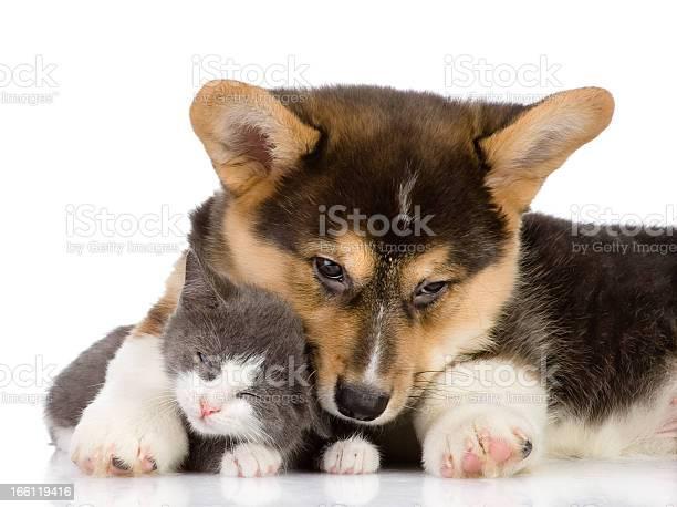 Pembroke welsh corgi puppy embraces a kitten picture id166119416?b=1&k=6&m=166119416&s=612x612&h=syc lz92i9usr8pvk9lfgoeyr2 r1sdkxnbodwrdf7g=