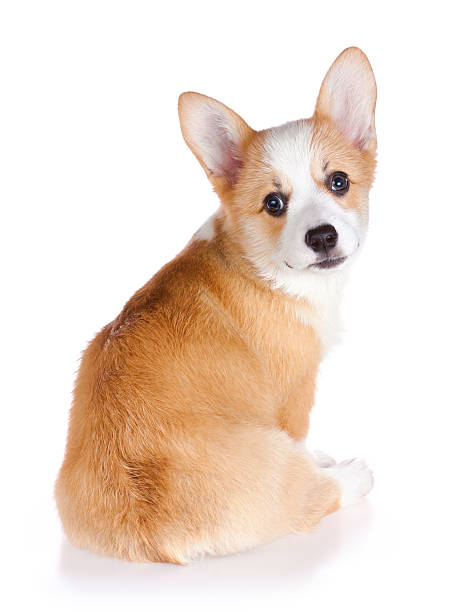 Pembroke Welsh Corgi puppy stock photo
