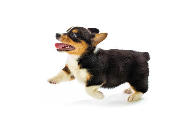 pembroke welsh corgi purebred puppy running pose on white background - welsh corgi pembroke stock-fotos und bilder