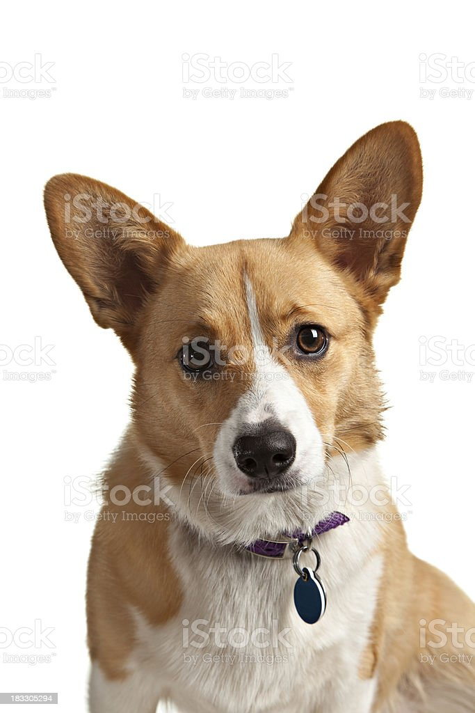 Pembroke Welsh Corgi With Collar royalty-free stock photo