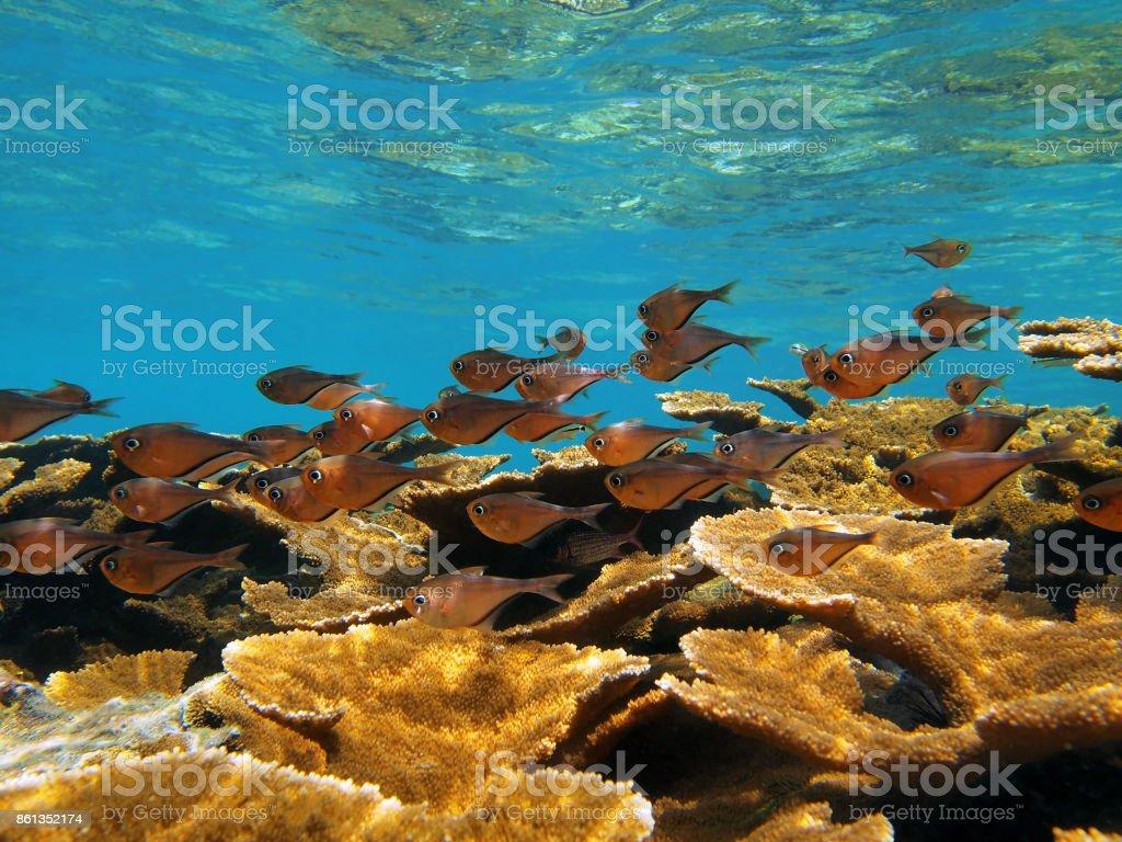 Pempheris schomburgkii fish stock photo