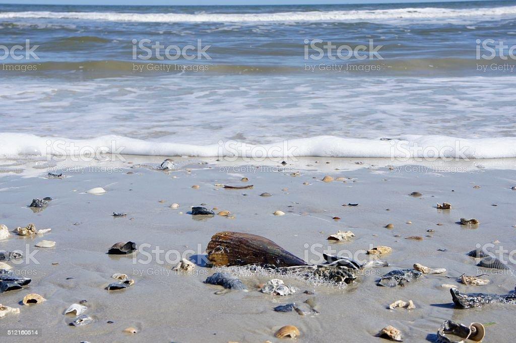 Pen Shell on Beach stock photo