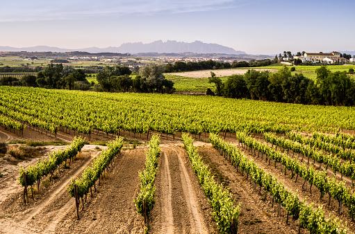 penedes montserrat subirats vineyard poppies vineyard