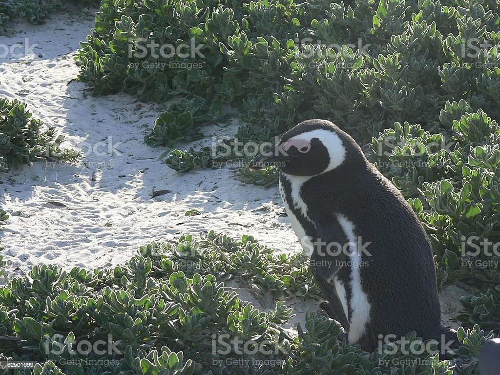 Penguin adult royalty-free stock photo