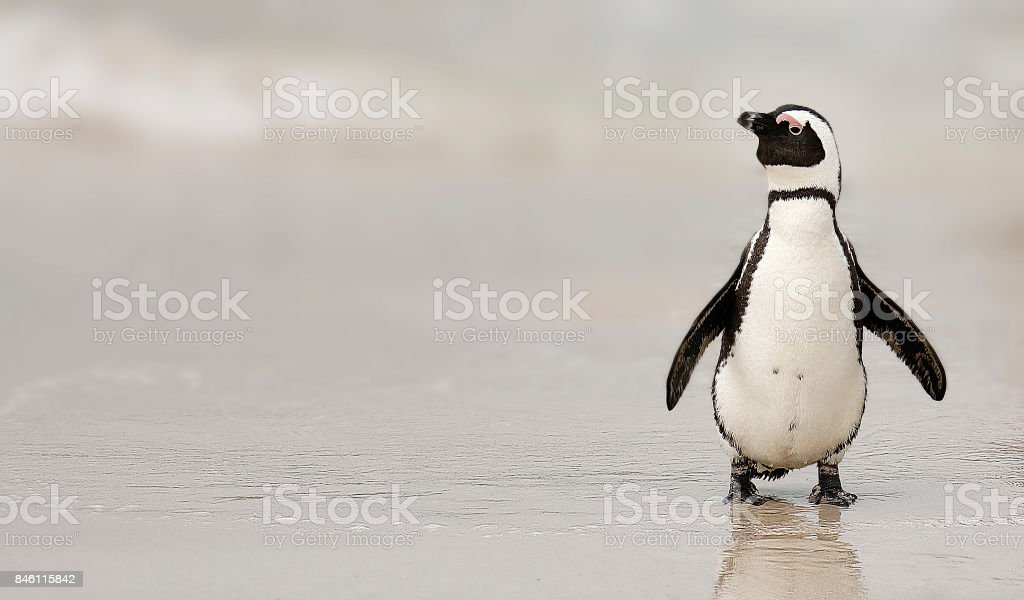 Penguin African avian aquatic bird Boulders Beach flippers ocean shore stock photo