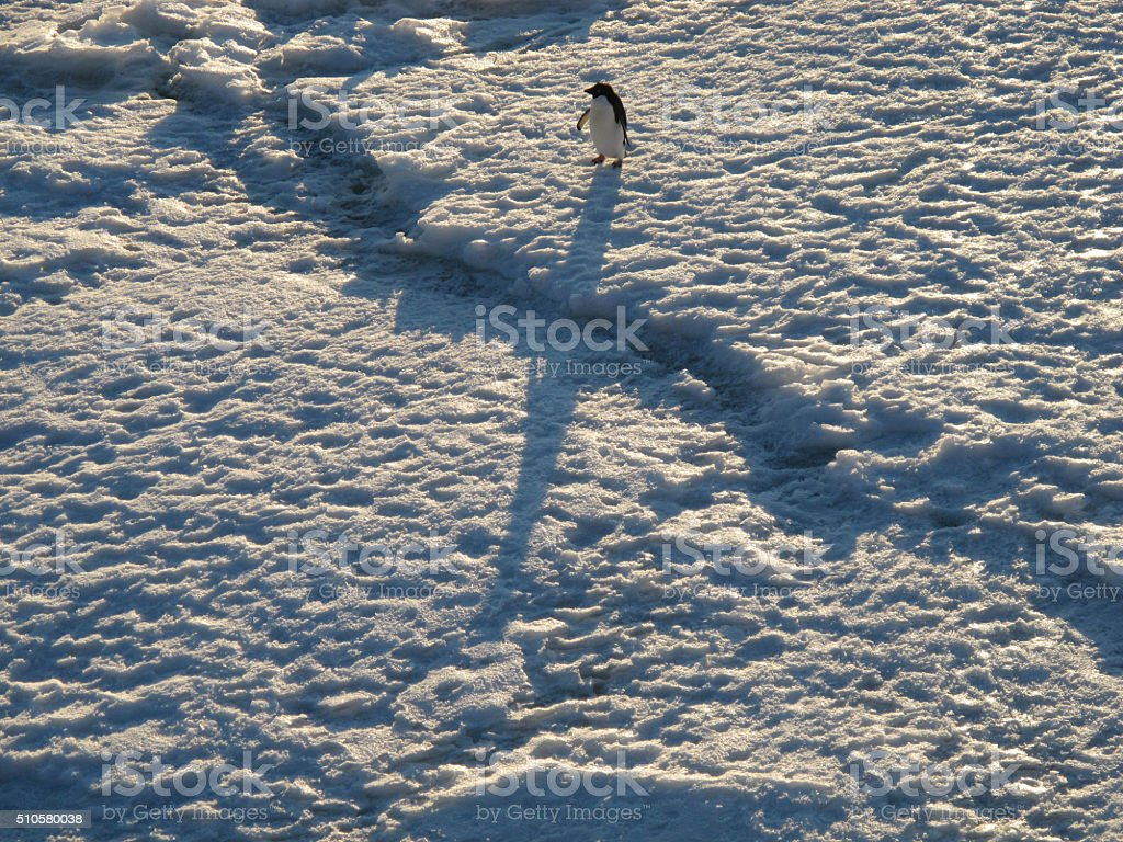 Penguin and Shadow stock photo