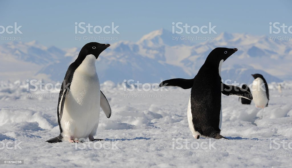 Penguin back and penguin front stock photo