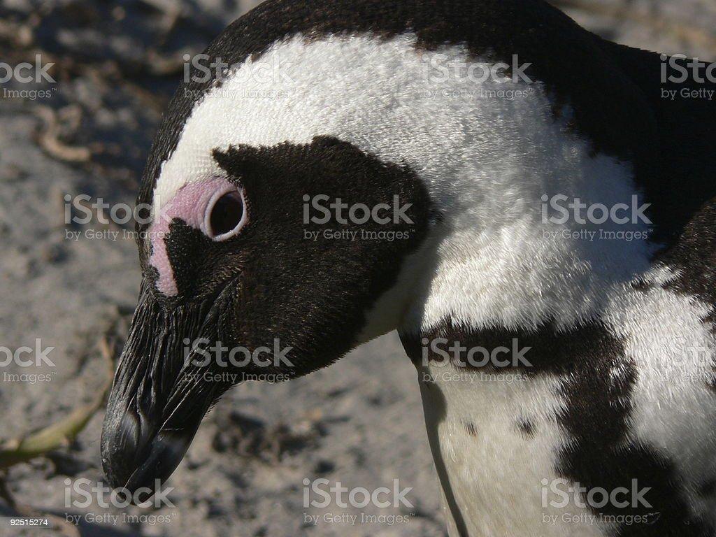 Penguin close up royalty-free stock photo