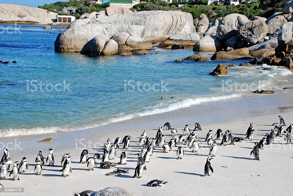 penguin colony on the ocean beach near Capetown stock photo