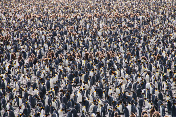 Penguin Colony Overview Overview of the Massive Penguin Rookery at Salisbury Plains, South Georgia, in the South Atlantic Ocean south georgia island stock pictures, royalty-free photos & images