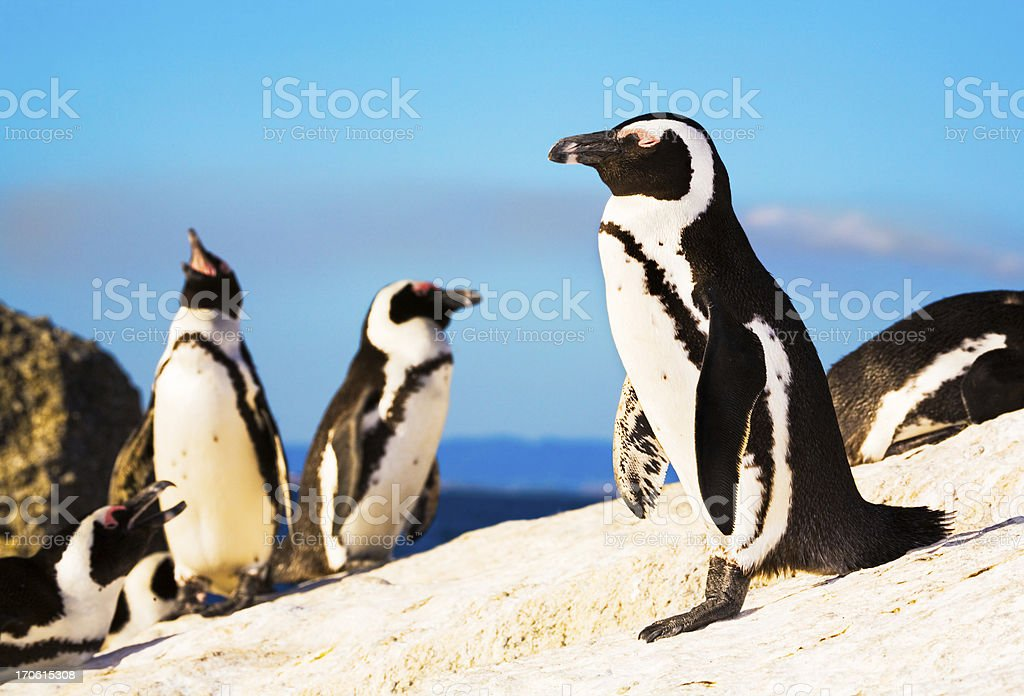 Penguin colony stock photo