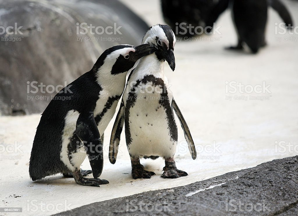 Penguin couple - Royalty-free Affectionate Stock Photo