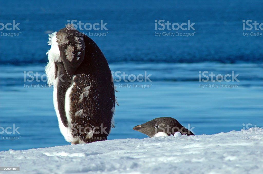Penguin, do not lose your head! stock photo
