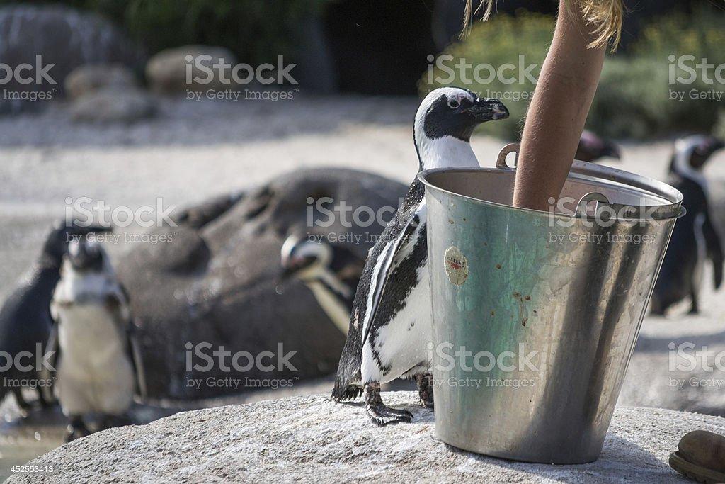 Penguin eating royalty-free stock photo