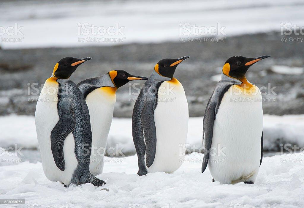 Penguin family South Georgia in the snow stock photo